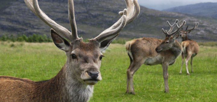 Red deer featured image