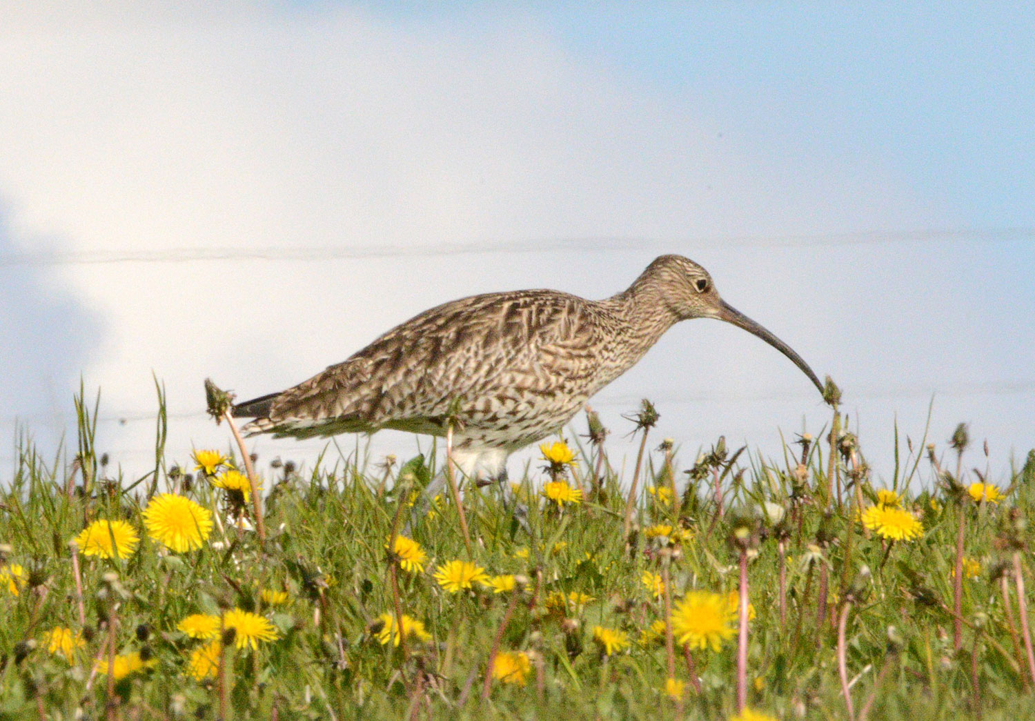 A whaup among the dandelions - a curlew at the Ring of Brodgar.