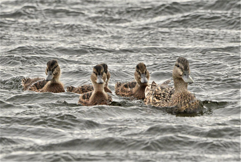 Mallard and her ducklings.