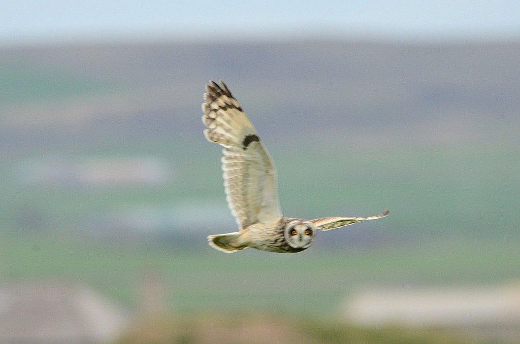 Short-eared owl on the hunt.
