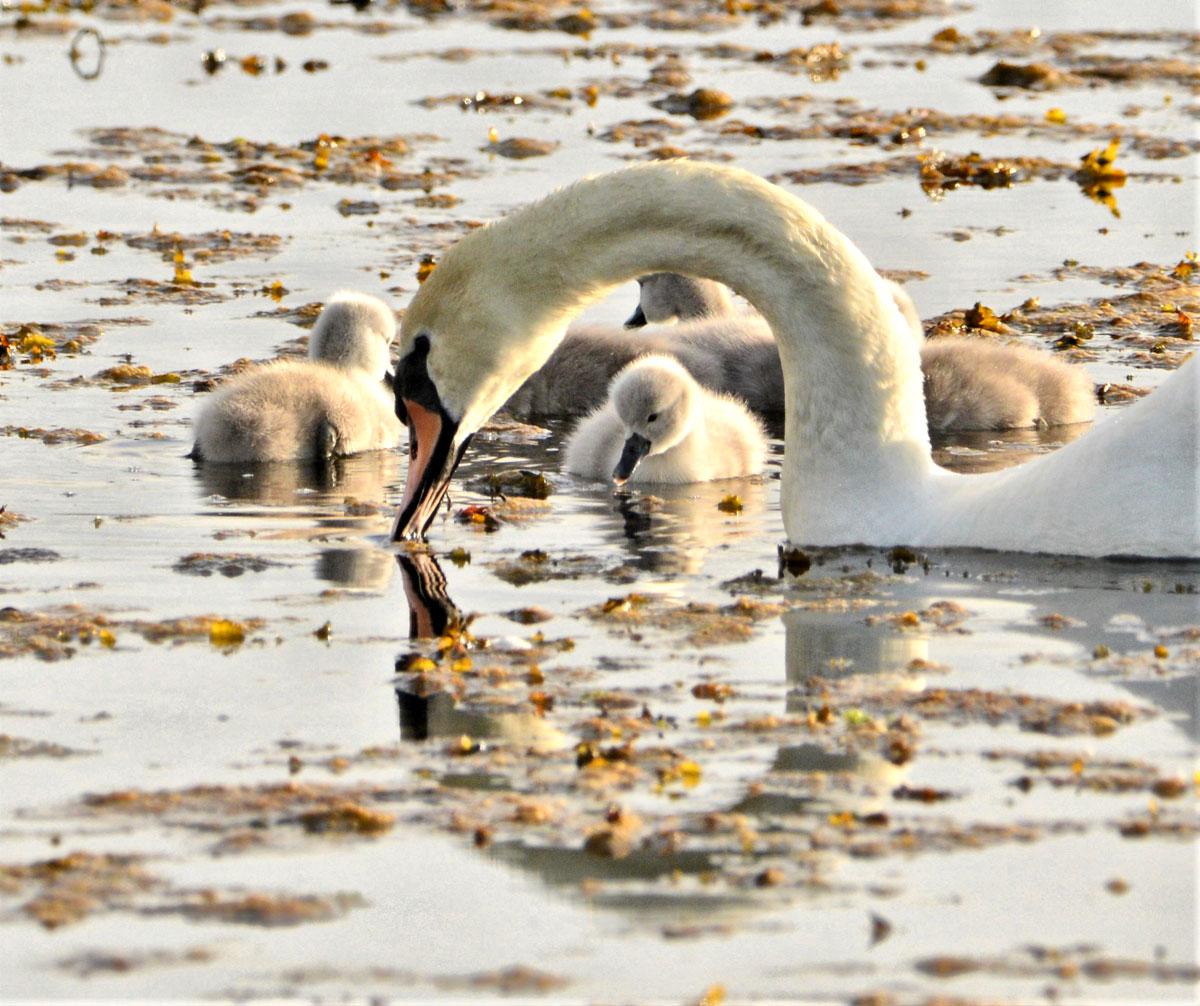 Swan and cygnets...