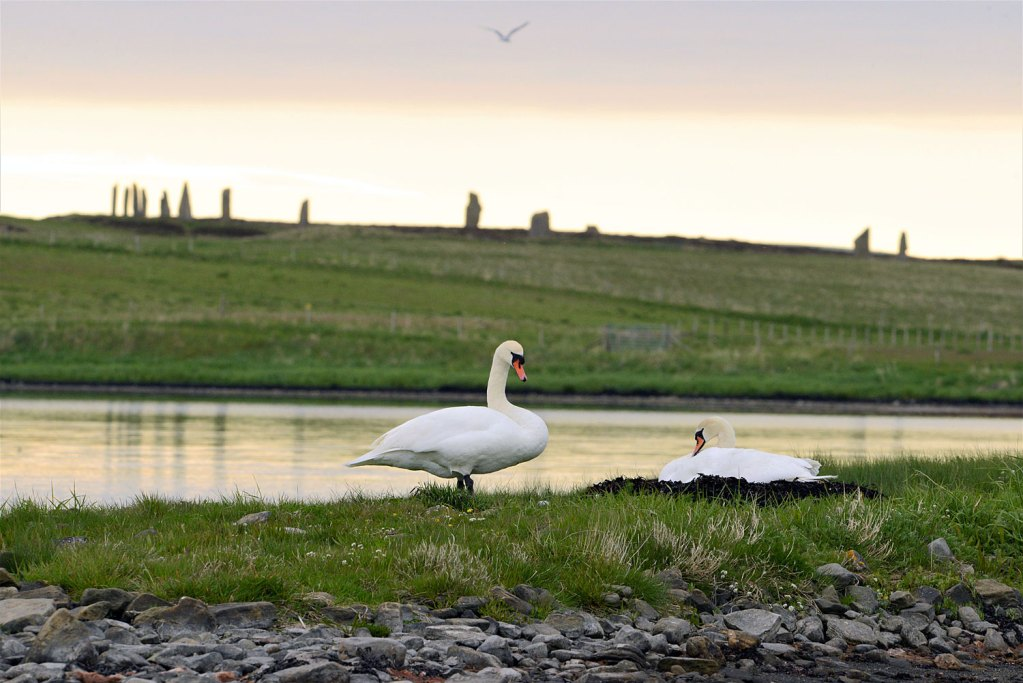 One the nest, with the Ring of Brodgar in the background.