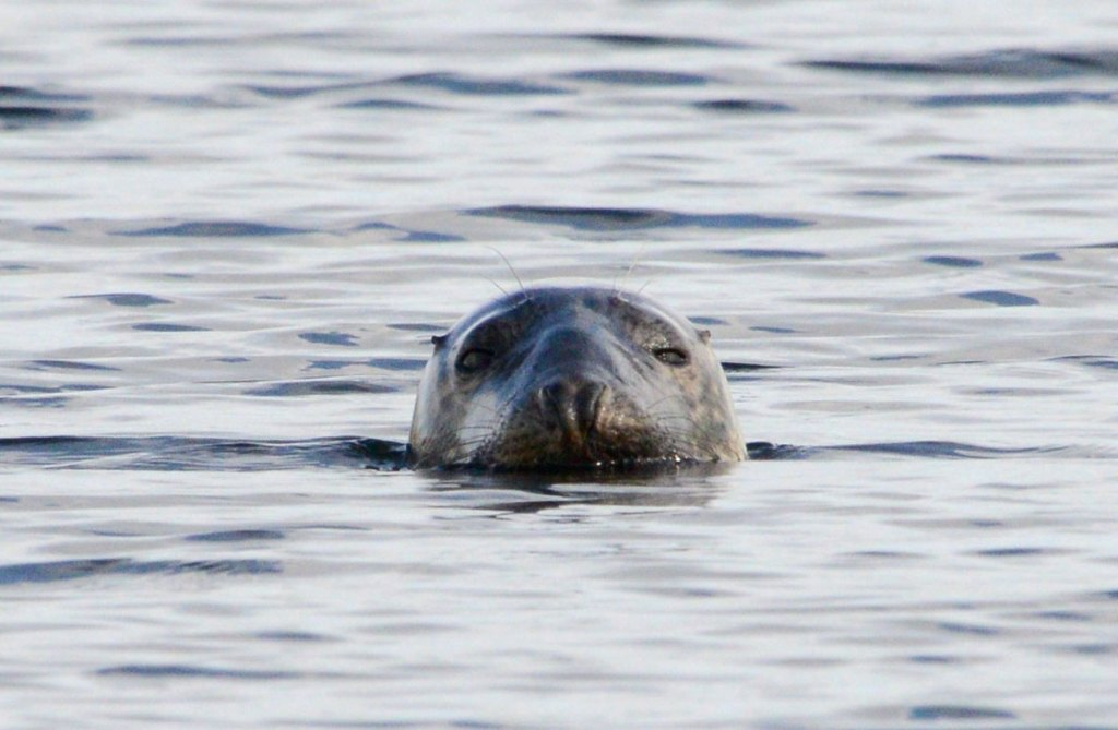 Common seal in the Stenness loch.
