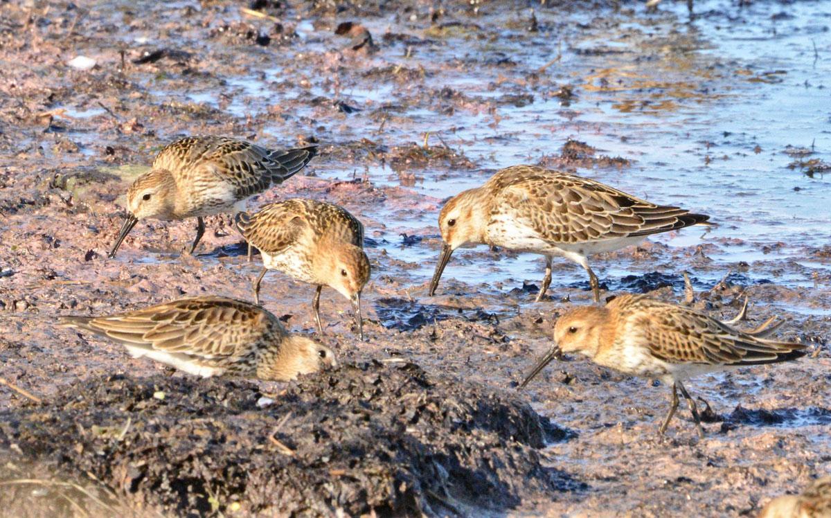 Dunlins feeding on the shore.