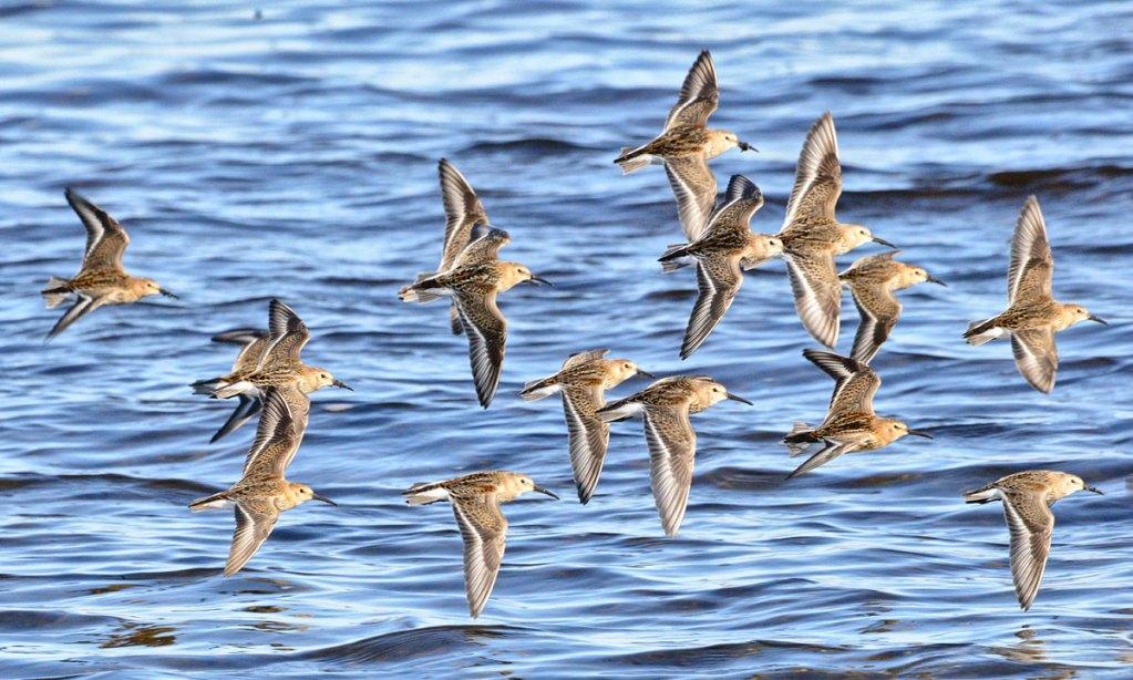 Flight of the dunlins.