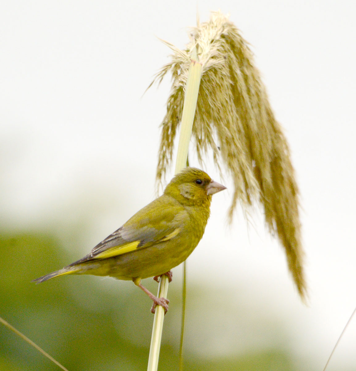 Greenfinch feasting on the pampas grass.