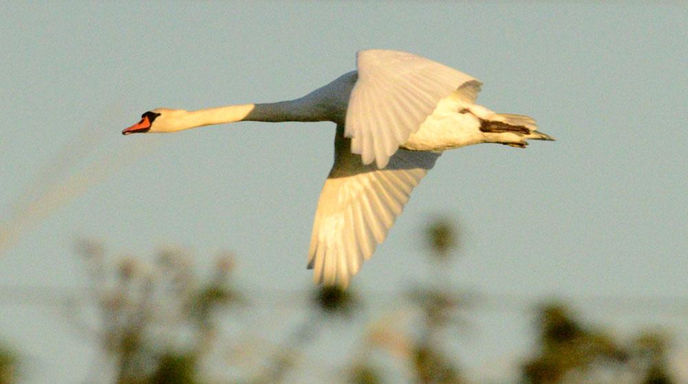 Low-flying swan.
