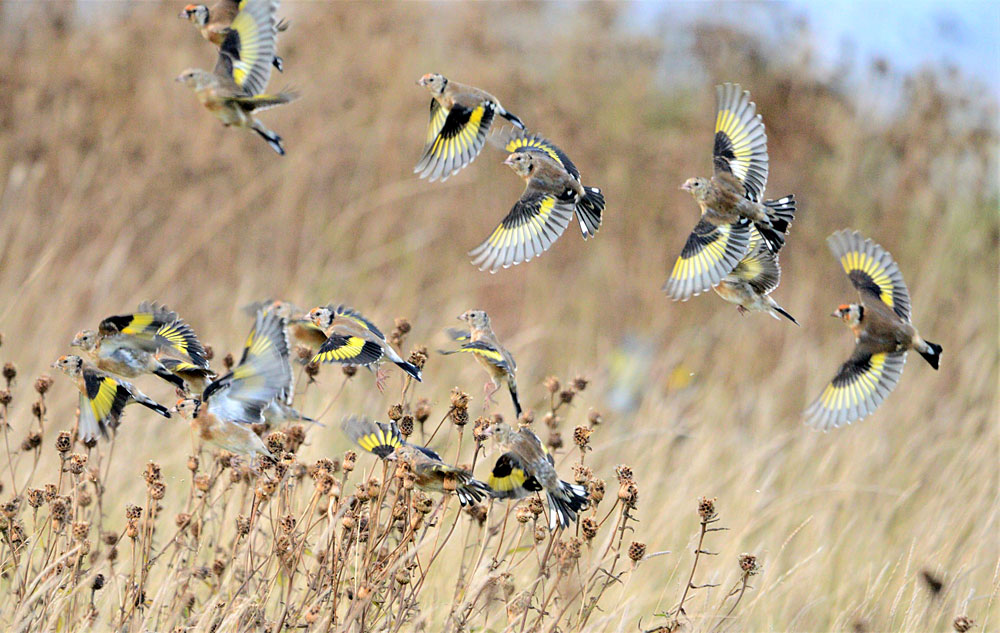 Part of a large flock of goldfinches at Brodgar.