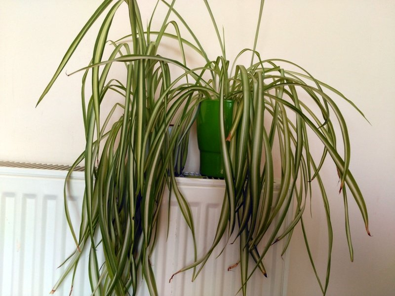 spider plant to improve indoor air quality