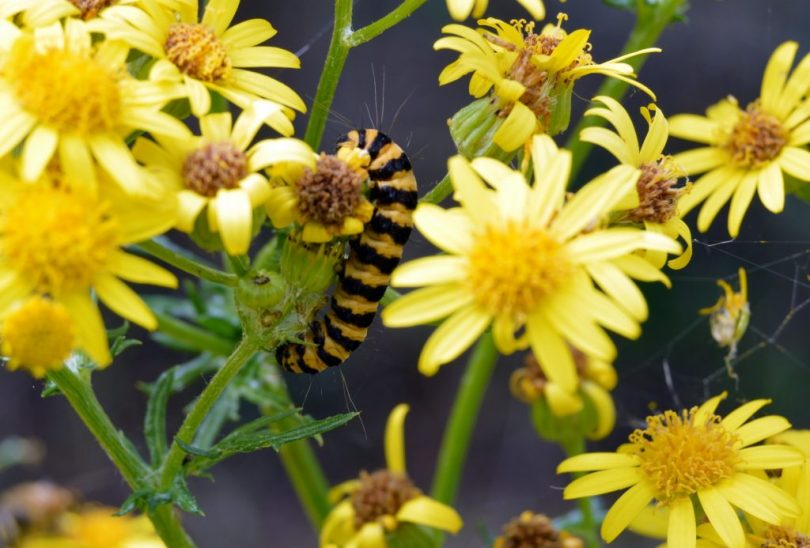 caterpillars on ragwort