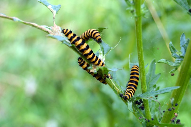 caterpillars enjoying ragwort