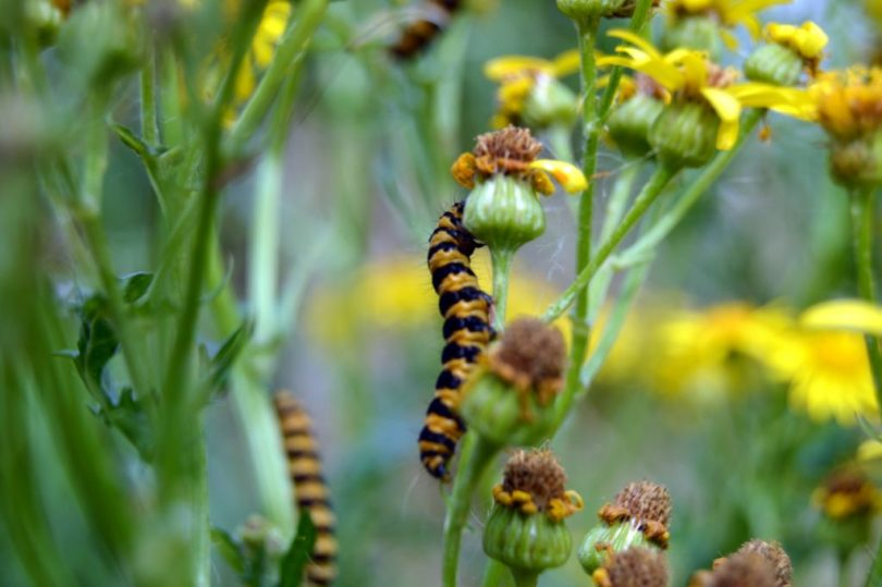 caterpillars feasting on ragwort