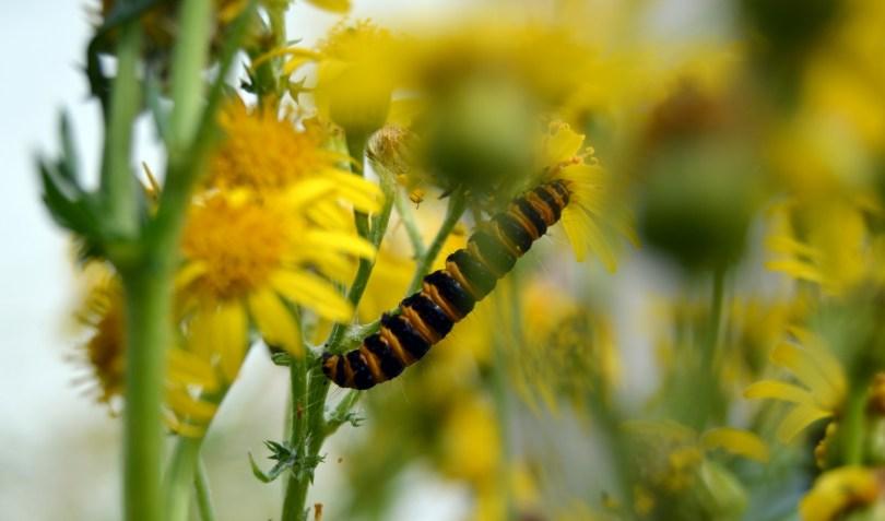 one hungary caterpillar upside down on ragwort