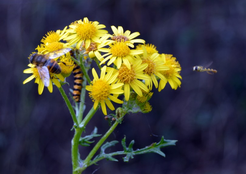 What is the flying critter hovering on the ragwort?