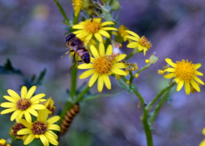 bee flying over ragwort