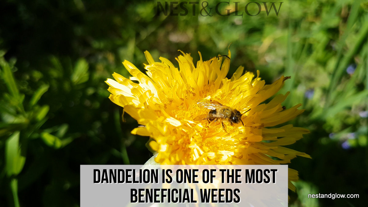 Why You Should Love Dandelions Nest And Glow