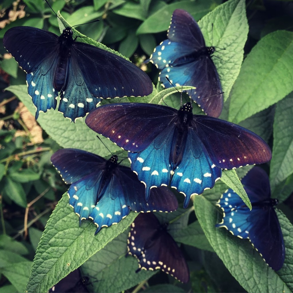California pipevine swallowtail butterfly
