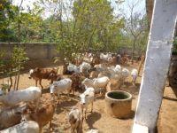Kuehe-Indien