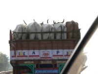 Kuhtransport Indien
