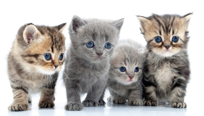 bengal-cats