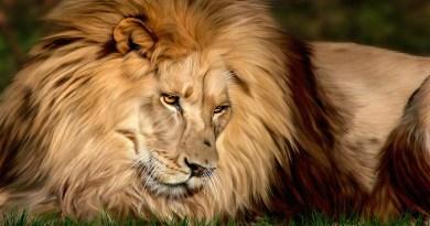 lion --Netmarkers