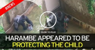 Latest video shows Gorilla was protecting baby- Netmarkers