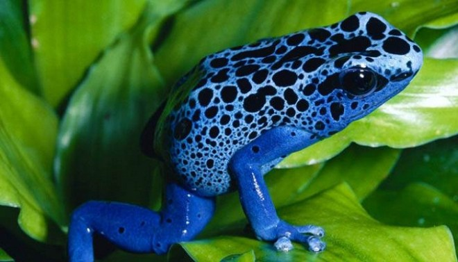 Poison Dart Frog-Netmarkers