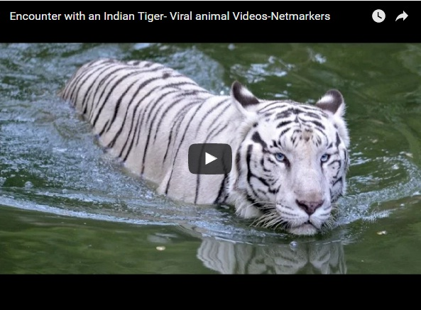 Viral video of encounter with Indian Tiger- Netmarkers