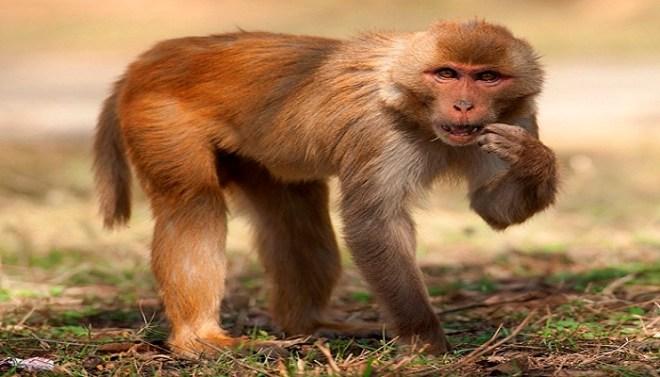 zika virus study on monkeys-Netmarkers