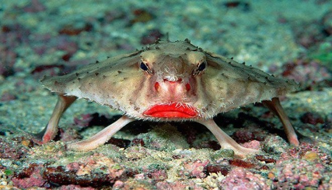 Red- lipped Batfish-netmarkers