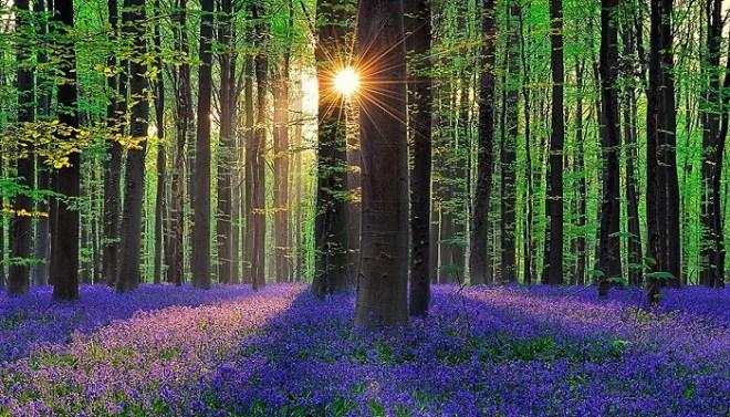 bluebell-forest-hallerbos-belgium-netmarkers