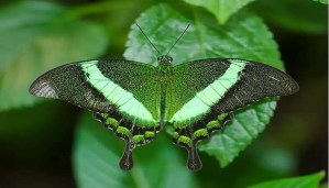 the-emerald-swallowtail-netmarkers
