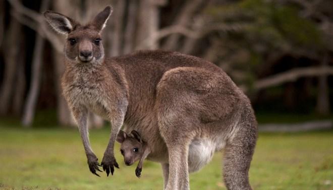 kangaroo-with-child-Netmarkers
