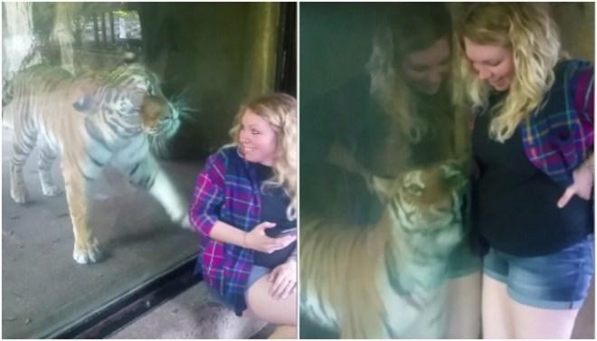 tiger cuddles pregnant mother