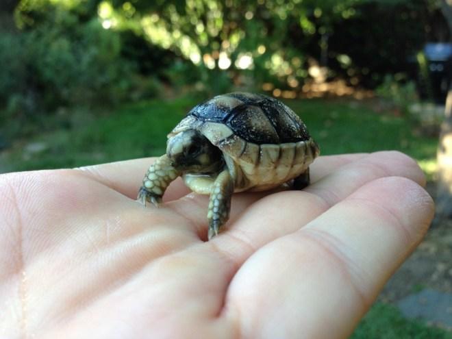 Speckled Padloper Tortoise
