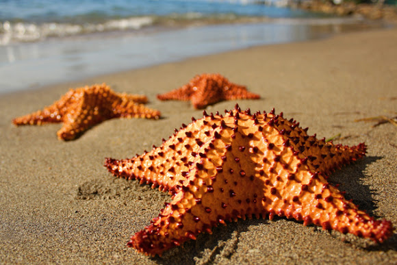 Biscuit-starfish