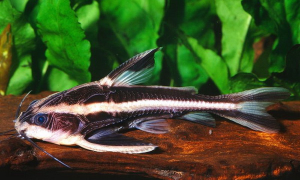 StripedCatfish-netmarkers