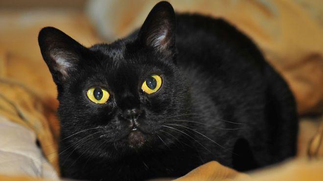 Bombay-cat-netmarkers