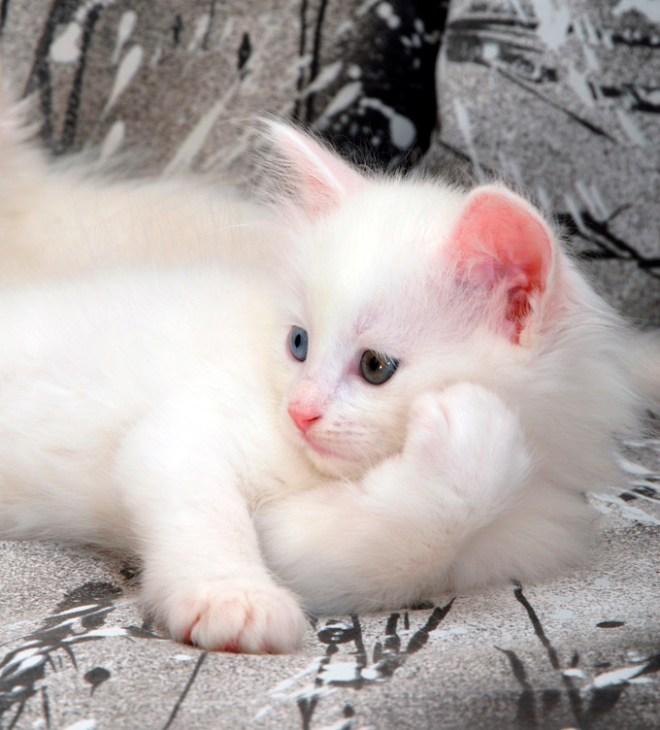 Turkish Angora Cat-netmarkers