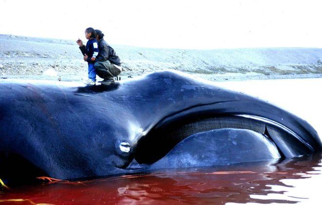 Bowhead Whale-netmarkers
