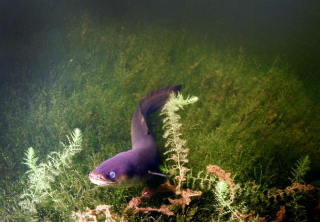 Long Finned Eel-netmarkers