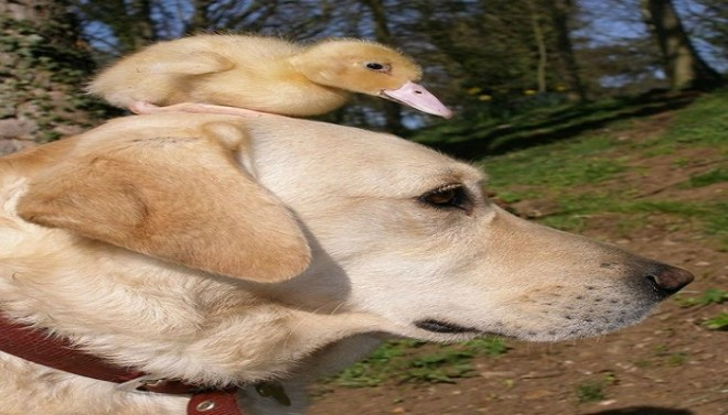 Duckling and Labrador friendship-Netmarkers