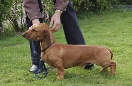 Dansk gravhund vinder af drevprøve i Finland