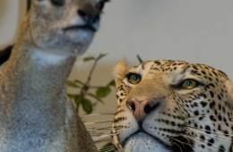 Angrebet af leopard