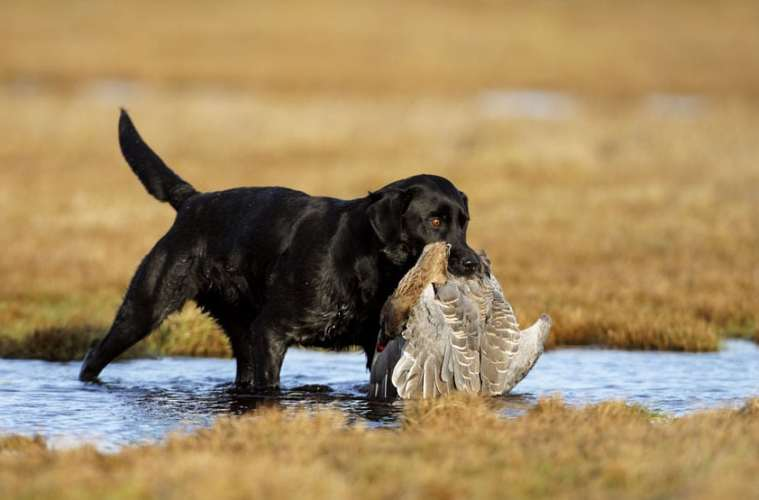 Jagthundens træning: Apporterende hunde