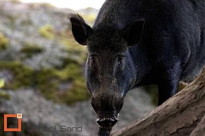 Tysk jæger dræbt af vildsvin