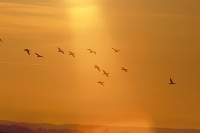 Gæs flyver tidligere til Arktis for at yngle