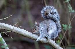 Sorte og grå egern i udlandet