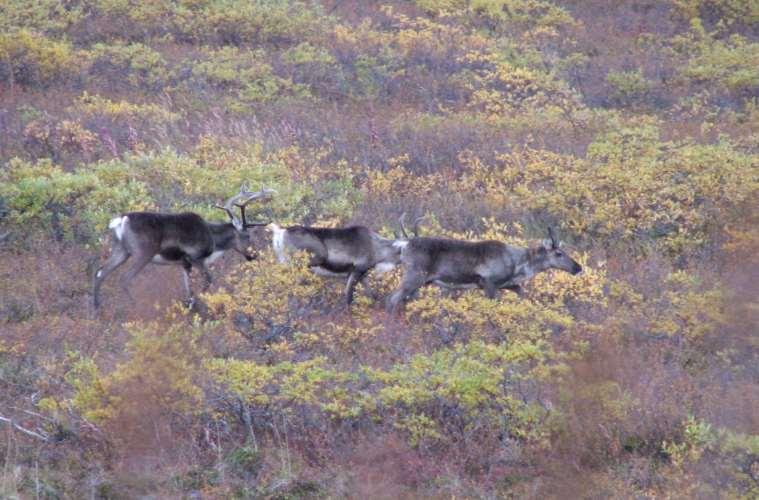 Uærlig jagt på rensdyr i Island