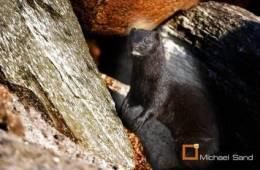 Storstilet forsøg på at udrydde minken i Skotland
